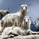 Cashmere Pashmina Goats